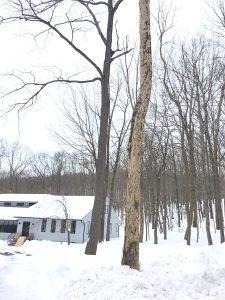 Bark Falling Off Ash Tree_4